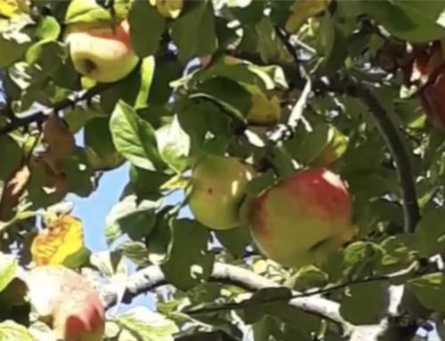 Obstbäume abgeerntet